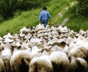 shepherd-leading-sheep